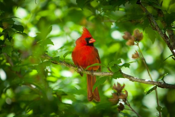 Cardinal_9951