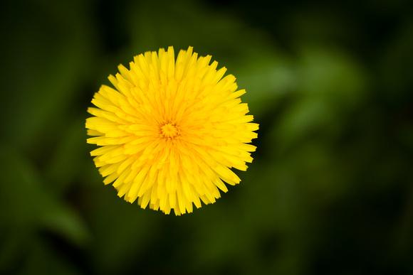 Dandelion 5906.jpg