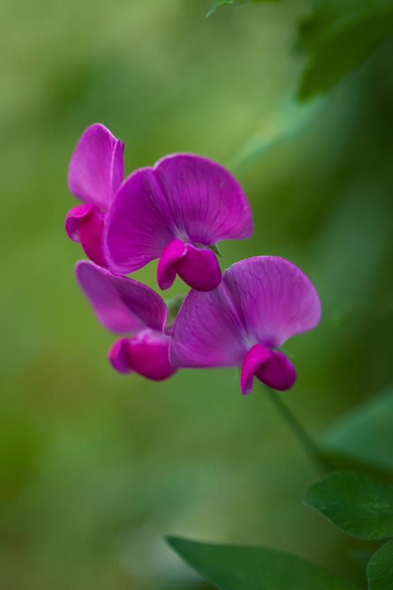 Perennial Pea_6080