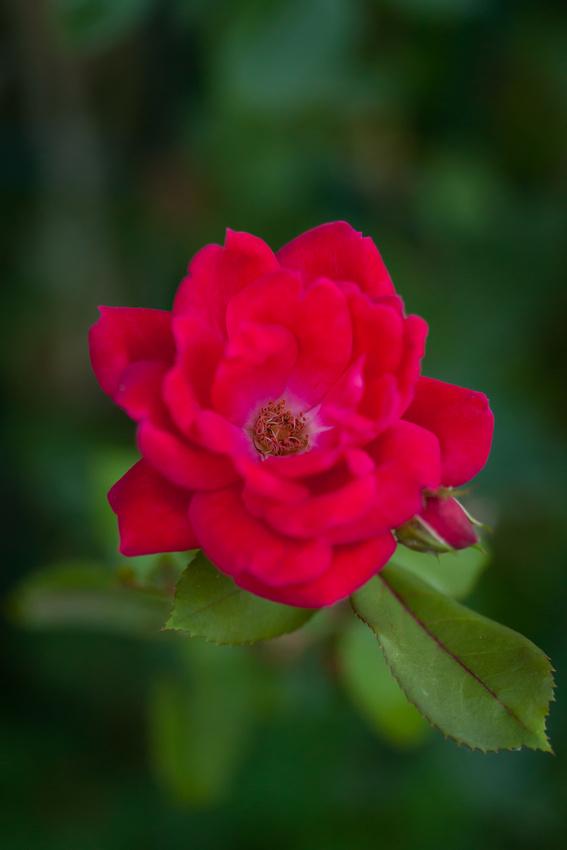 Garden Rose_6052