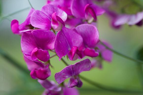 Perennial Pea_6650