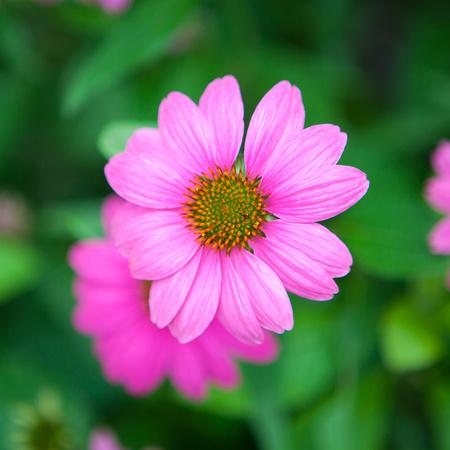 Purple Cone Flower_6125