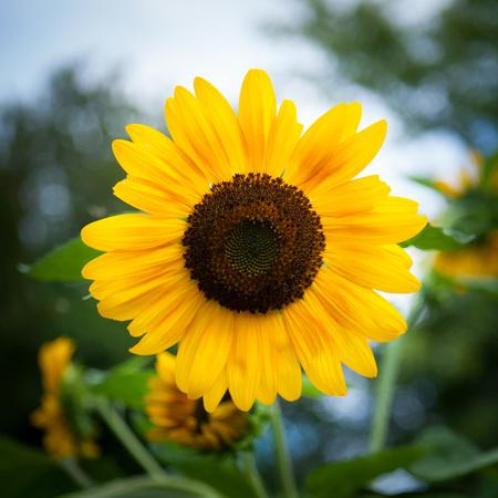 Sunflower_6276
