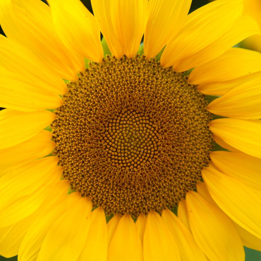 Sunflower_6990