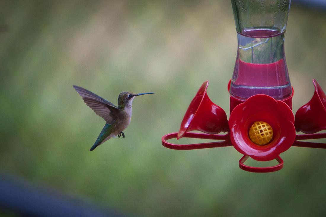 Hummingbird_7338